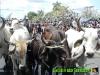 el-arreo-de-los-toros-por-las-calles-de-liberia-forman-parte-de-los-topes-de-toros-custom
