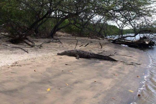 lagartos-en-playa-tamarindo